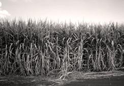 Foto in bianco e nero di una piantagione di canna da zucchero